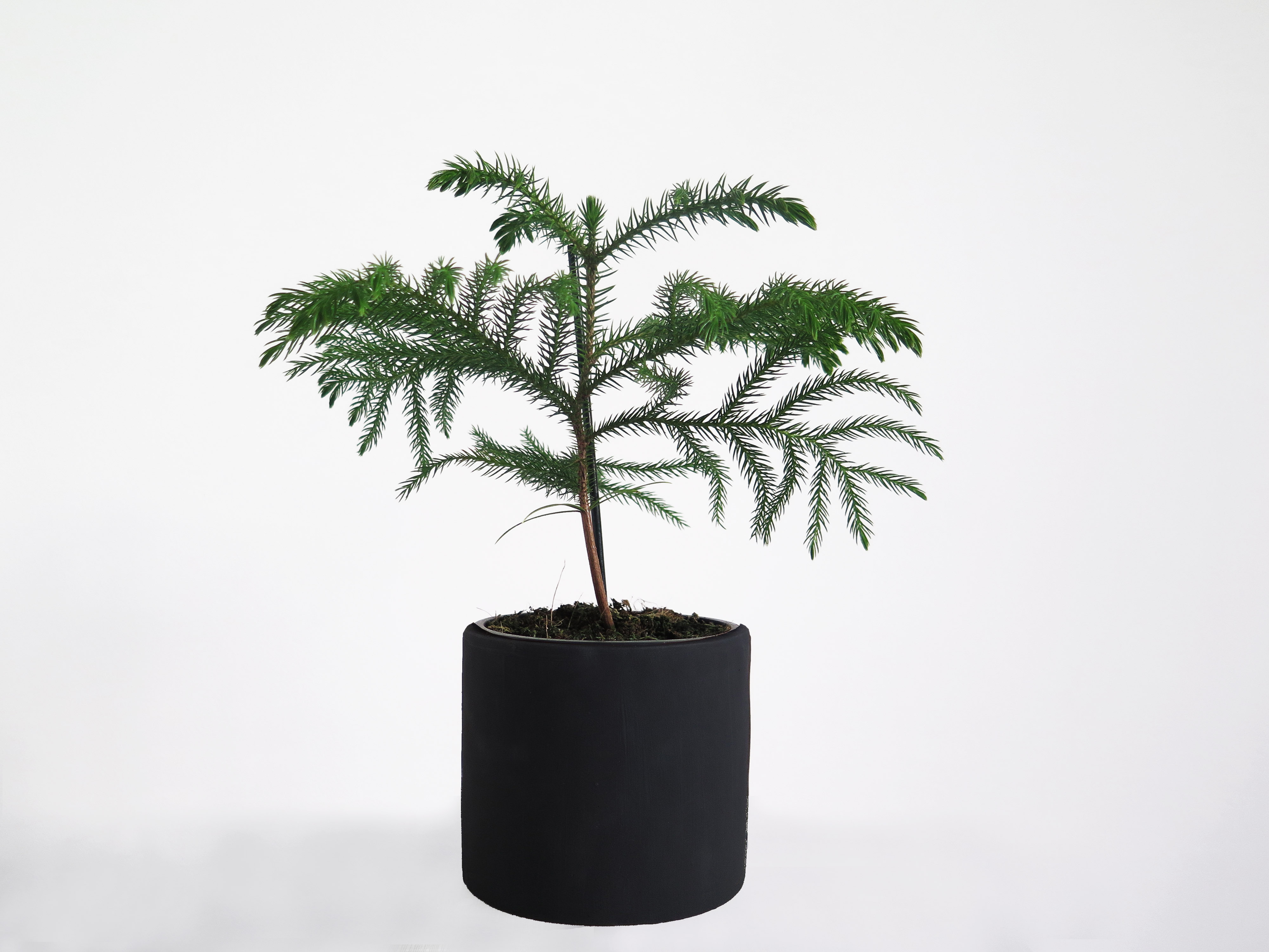 araucaria_potted-plant