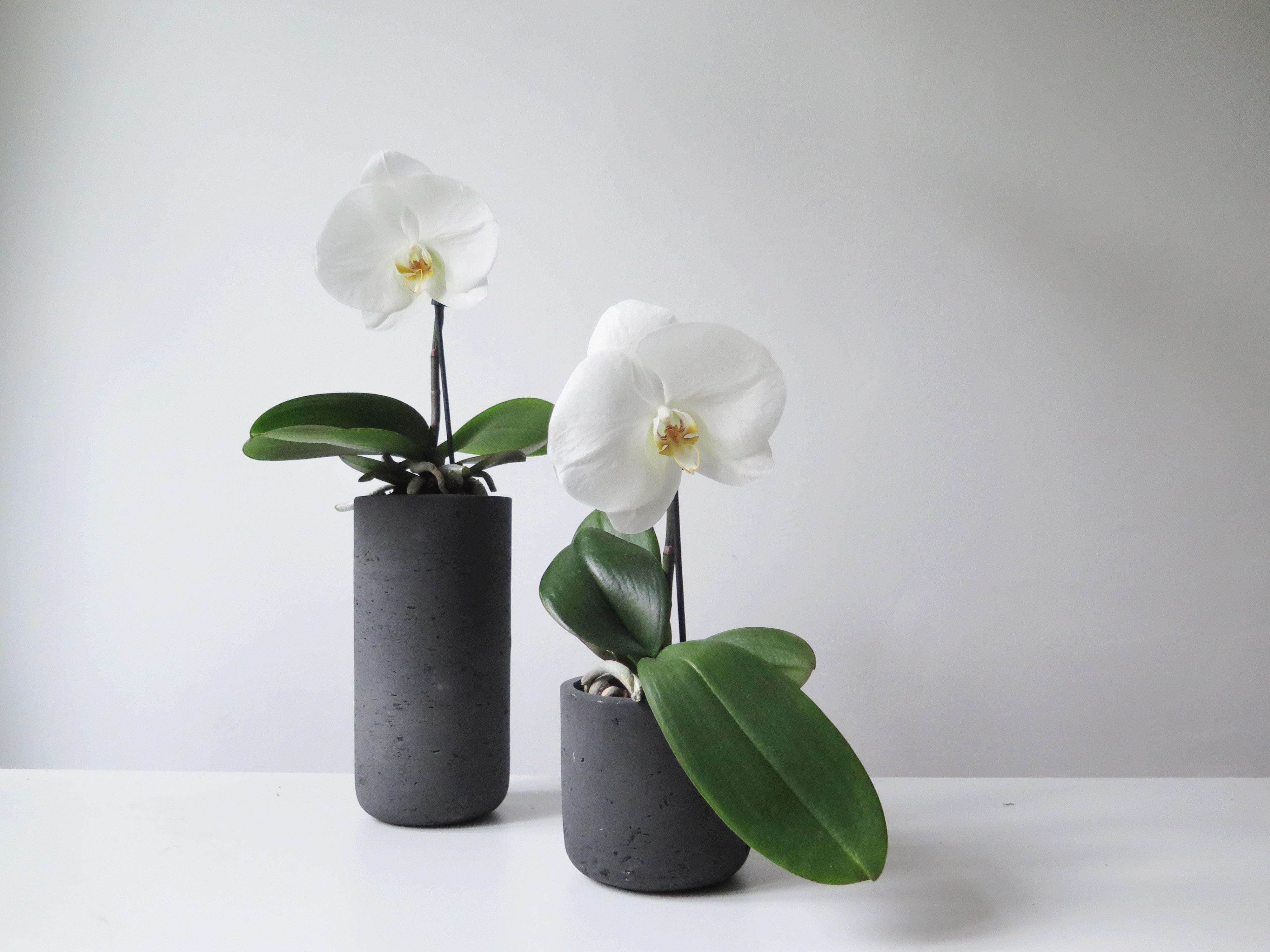 botanike_phalaenopsis-singolo
