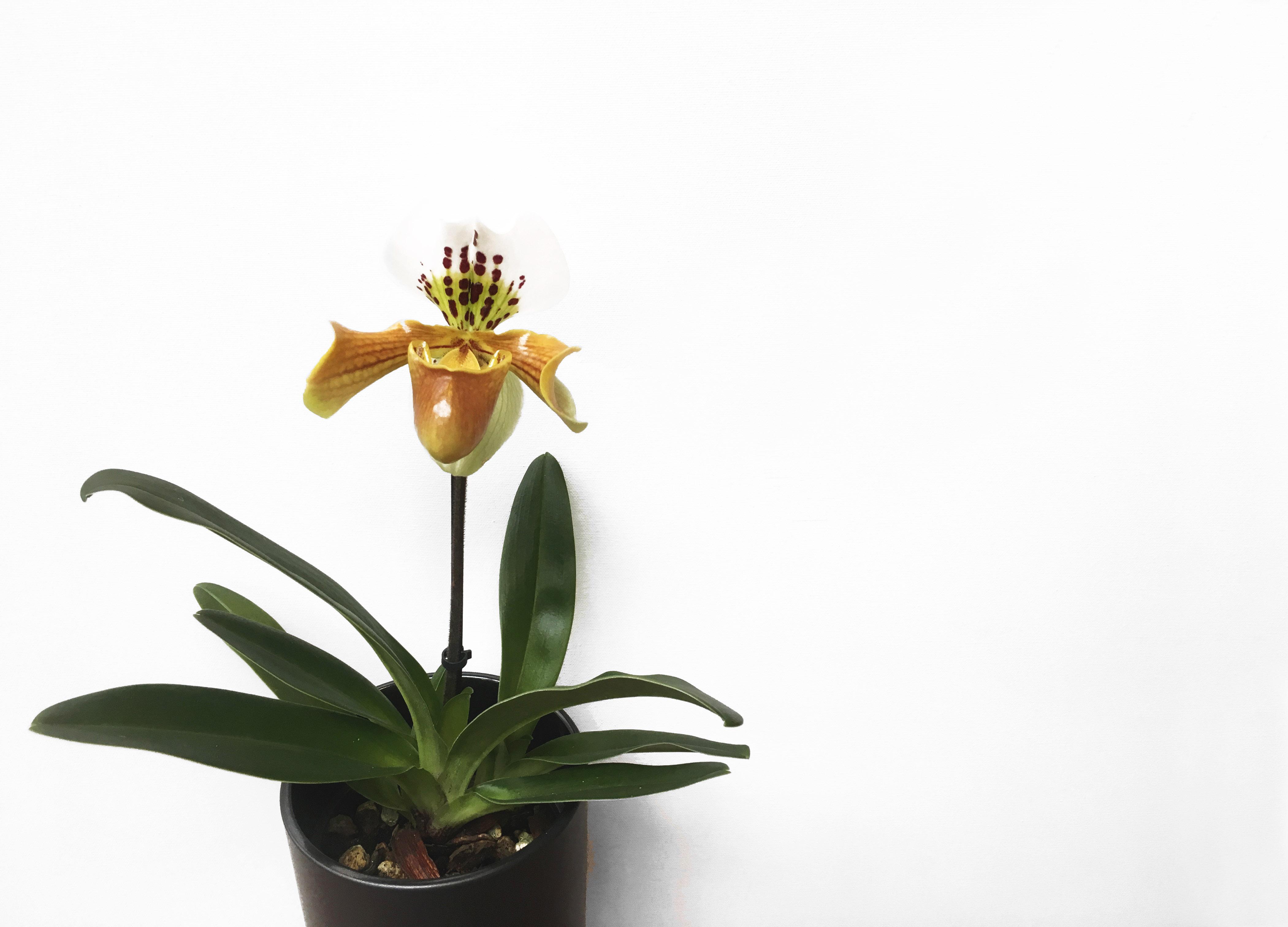 botanike_paphiopedilum