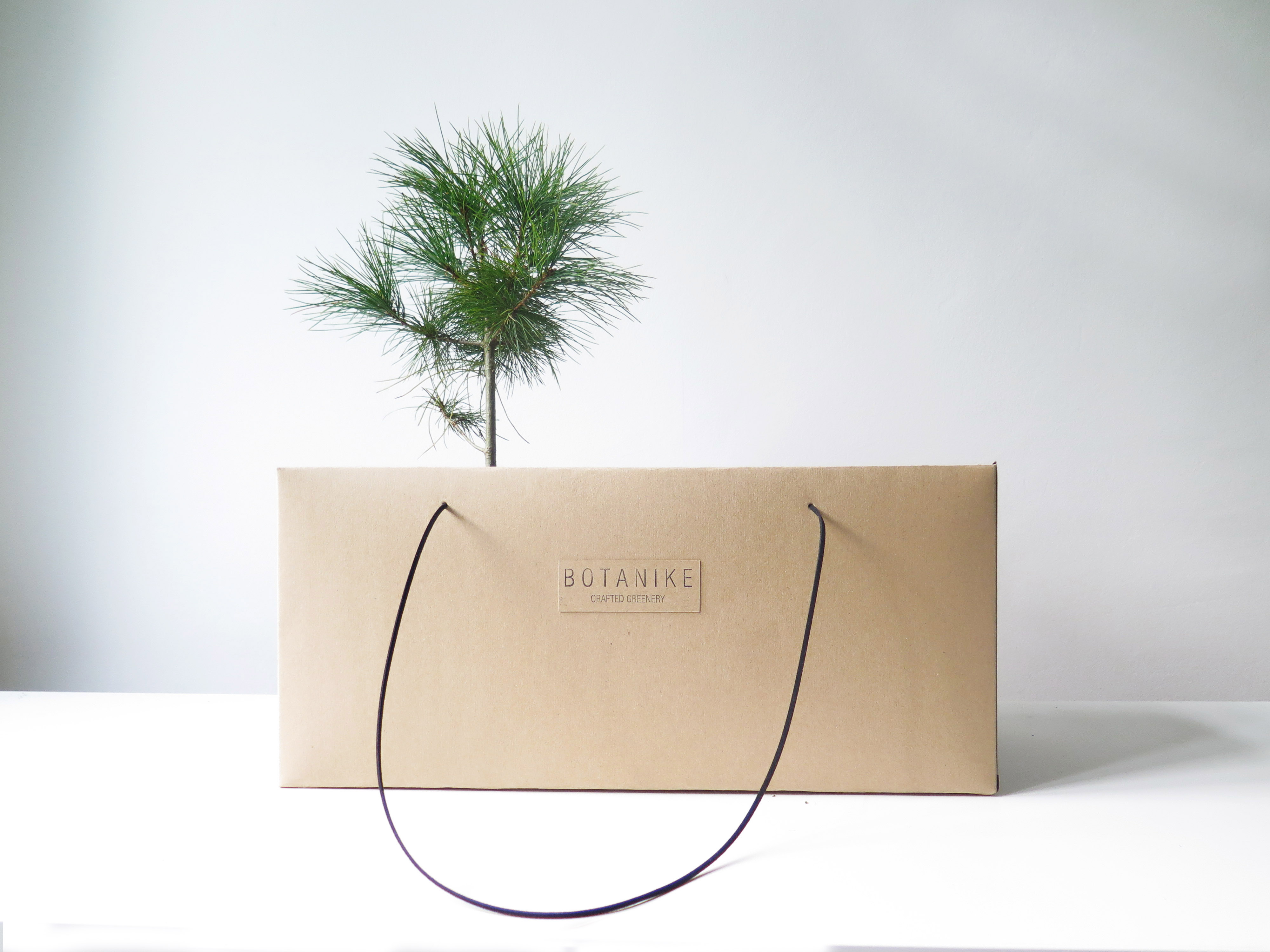 pinus-strobus_plus-gift