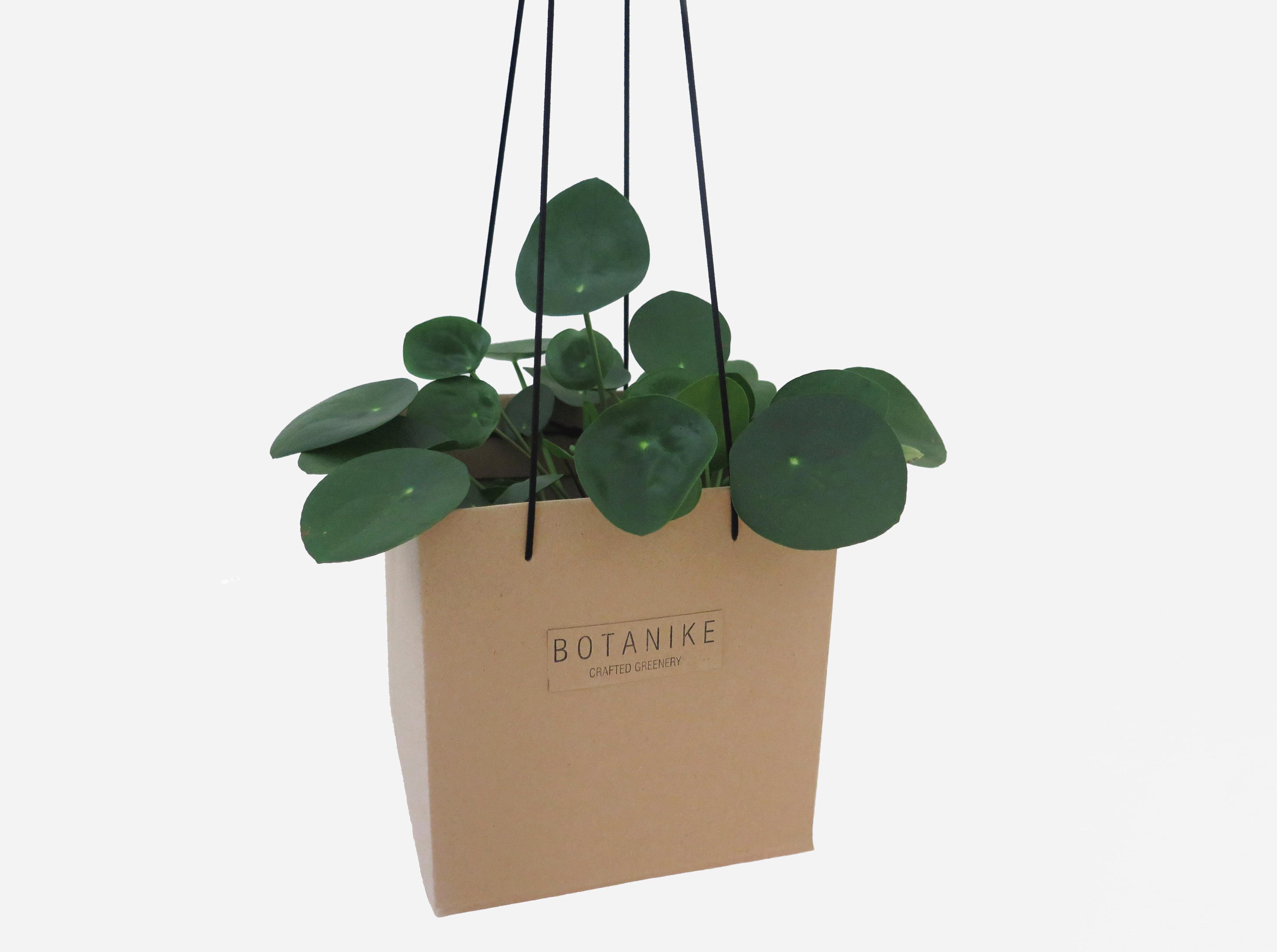 botanike gift_pilea