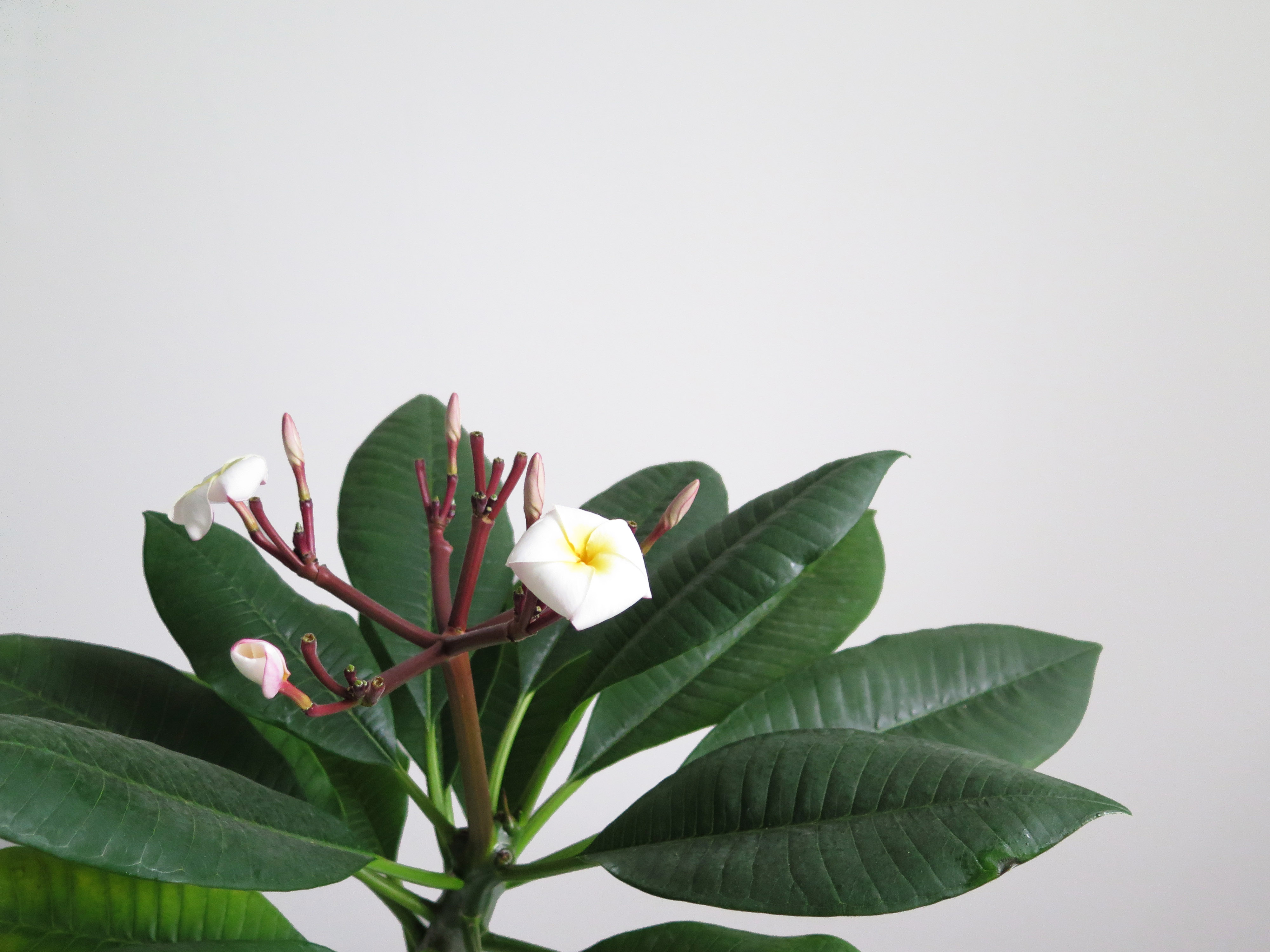 plumeria-alba_flower