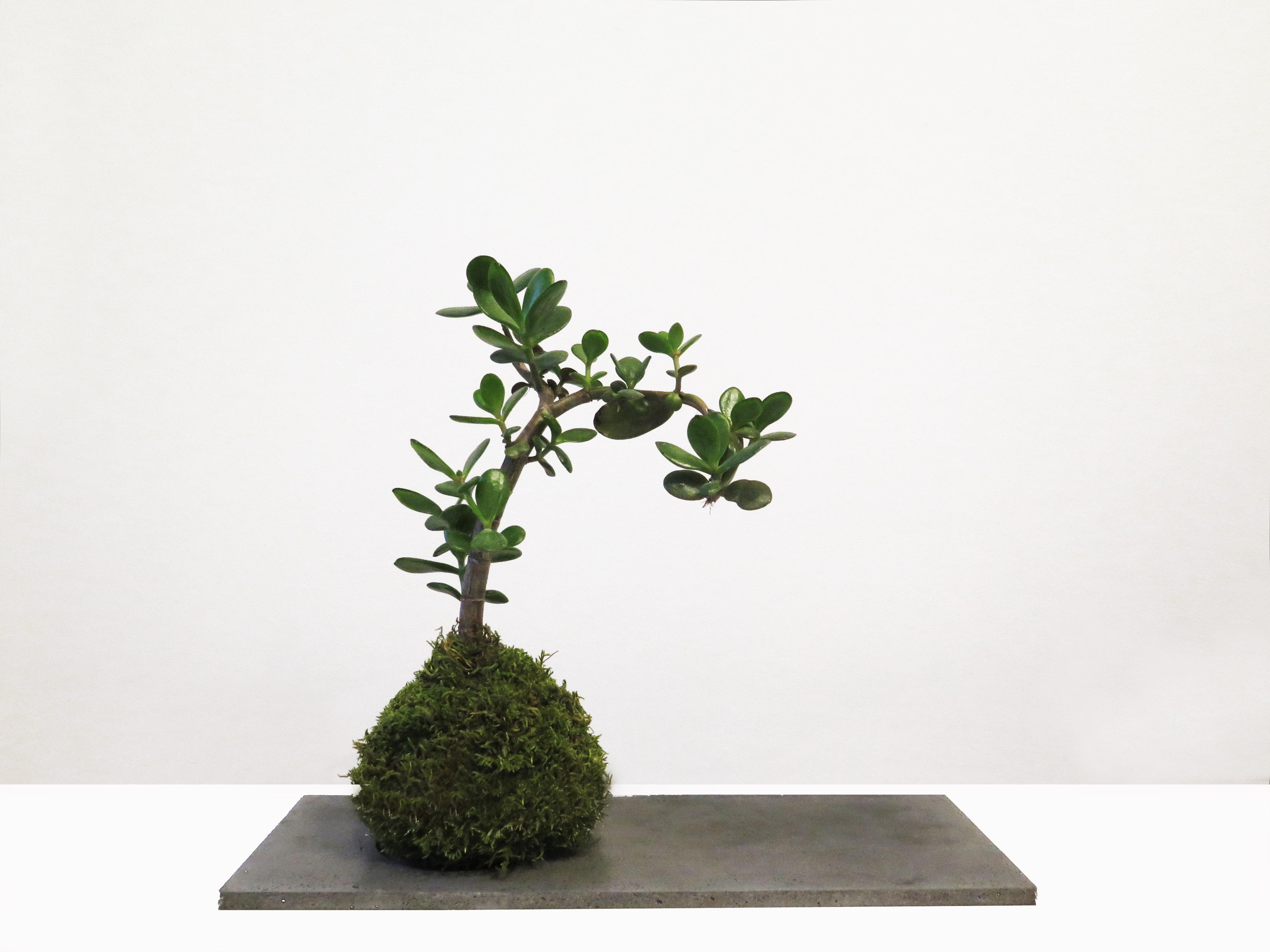botanike_crassula-kokedama