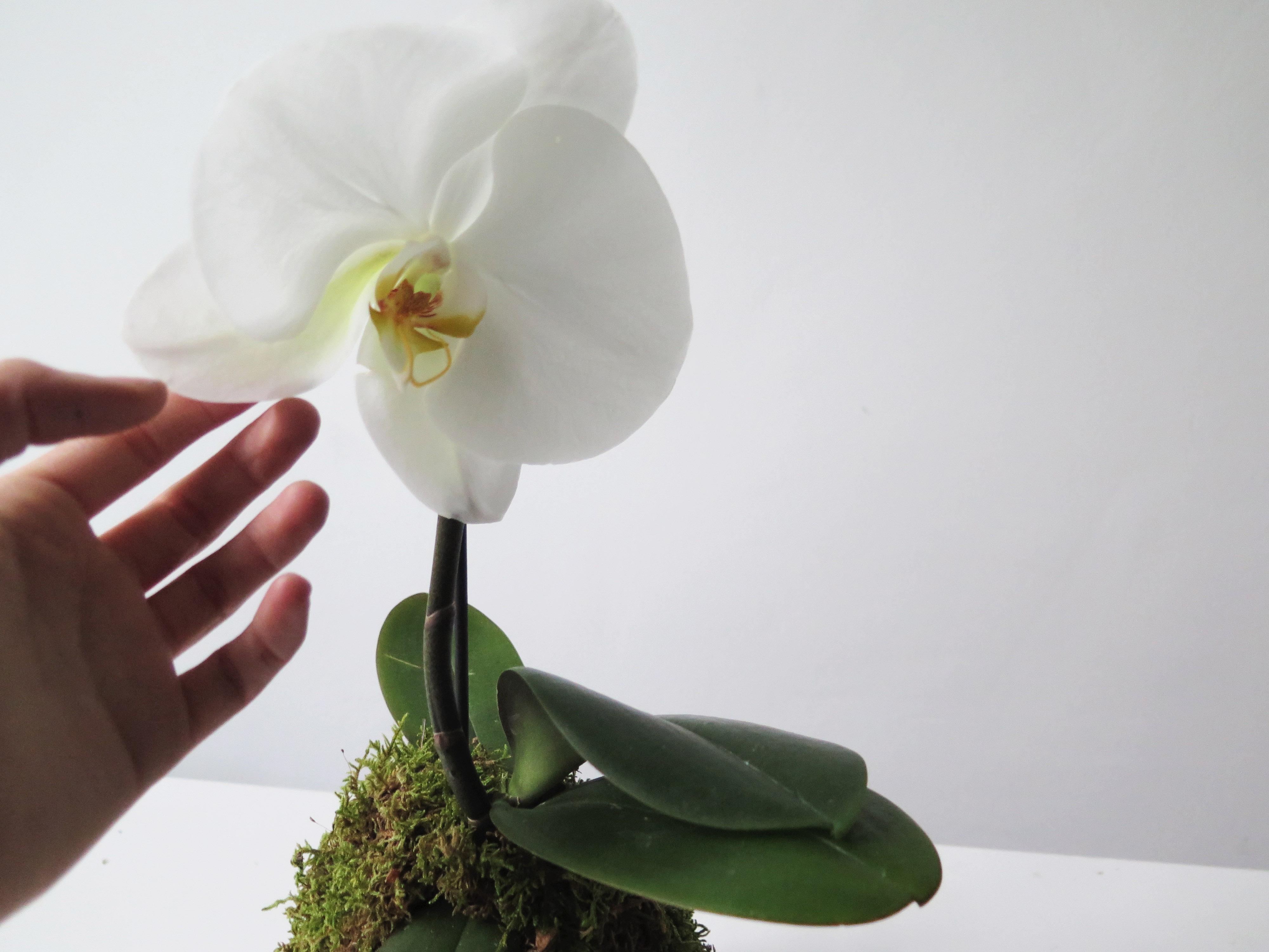 botanike_phalaenopsis-singolo-hand