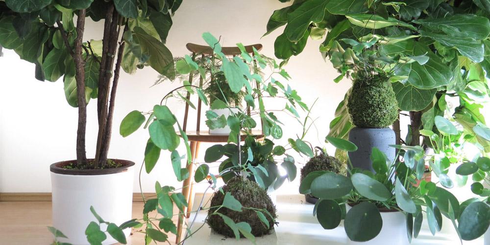 studio botanike_ficus lyrata_indoor plants